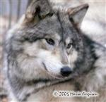Gorgeous female Wolf picture Picture