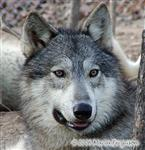 Striking Wolf picture Picture