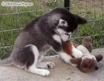 Haley, Siberian Husky Pup Picture