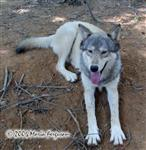Long-legged Wolf picture Picture