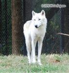 White Wolf pictures I Picture