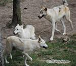 White Wolf pictures II Picture