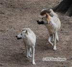White Wolf pictures III Picture