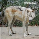 White Wolf pictures IX Picture