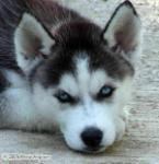 Siberian Husky pictures by Maria Ferguson.
