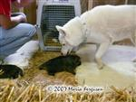 Siberian cleans wolf pup picture Picture