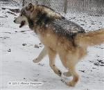 Wolf pictures, running Picture
