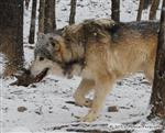 Wolf pictures, the stalker Picture