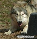 Niko yearling Wolf picture Picture