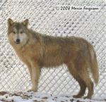 Big Boy, yearling Wolf picture Picture