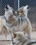 Wolf pictures, chorus howl Picture
