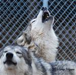 Wolf pictures, singing the blues Picture