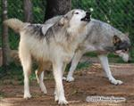 Wolf picture, howl greeting Picture