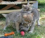 Wolf Pup is angry picture Picture