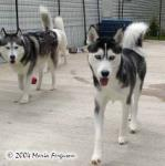 Niko and Nashoba Male Siberian Huskys Picture