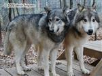 Wolf pictures, close family Picture