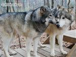 Wolf pictures, Bro and Sis Picture