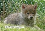 Precious Wolf Pup picture Picture