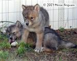 Wolf Pup harassing picture Picture