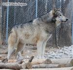 Wolf photos, on guard Picture