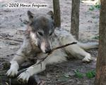 Wolf playing with stick picture Picture