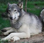 Wolf pictures, thoughtful Picture