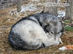 Wolf pictures, snow curl Picture