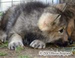 Wolf pup settles down picture Picture