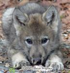 Wolf pup closeup picture Picture