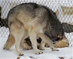 Wolf Pictures, Nita's snow day V Picture