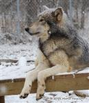 Wolf pictures, so serious Picture