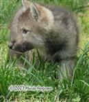 Wolf Pup Huntress picture Picture