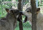 Wolf Jaw picture Picture