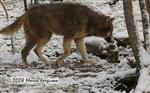 Wolf traveling in snow picture Picture