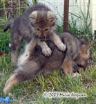 Wolf Pup revenge picture Picture