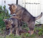 Wolf pups fight over ribs picture Picture