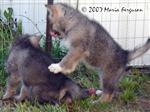 Wolf Pup licks her chops picture Picture