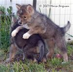 Wolf Pup gets serious picture Picture