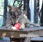 Wolves with enrichment ball picture Picture