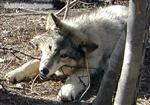 Wolf pup chewing picture Picture