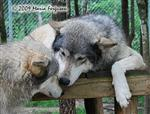 Wolf pictures, family greeting Picture