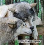 Wolf pictures, sweet Picture