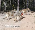 Wolf flees with toy picture Picture