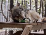 Wolf loves this bone picture Picture