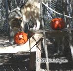 Female Wolf and pumpkin picture Picture
