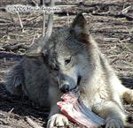 Wolf settles in to eat Picture