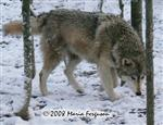 Lovely Female Wolf in snow picture Picture
