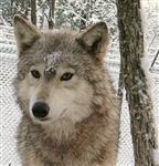 Alpha Female Wolf in snow photo Picture
