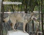 Wolf on house picture Picture