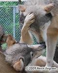 Wolf pictures, muzzle rub Picture